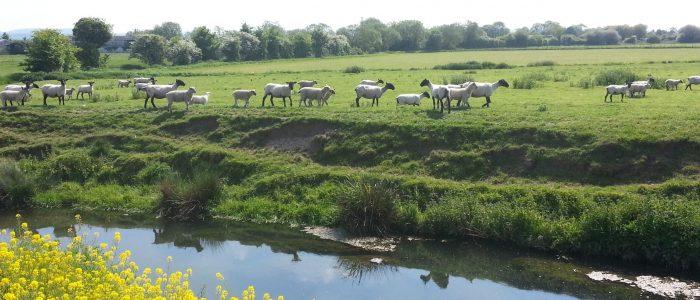 Sheep and meadow yatton yoga-for-blokesandblokettes.com
